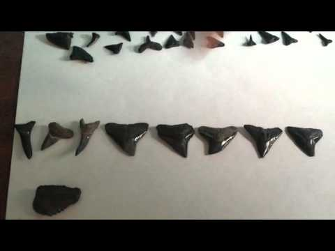 Shark teeth finds from Myrtle Beach?!?!