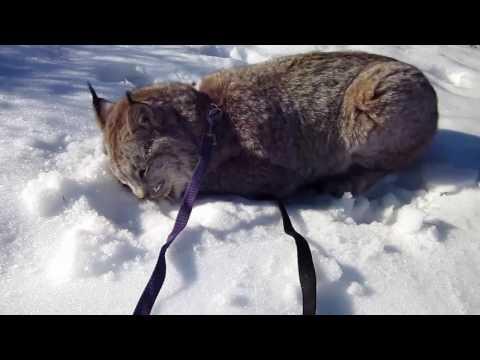 Max Canada Lynx Christmas 2016