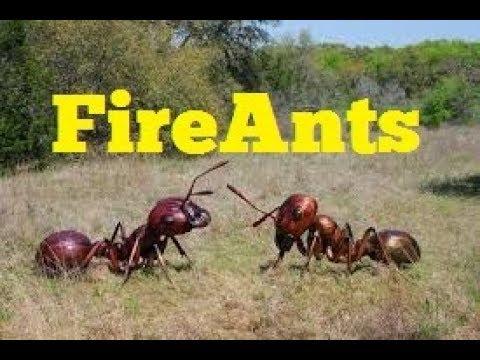 FIRE ANTS vs LIVESTOCK