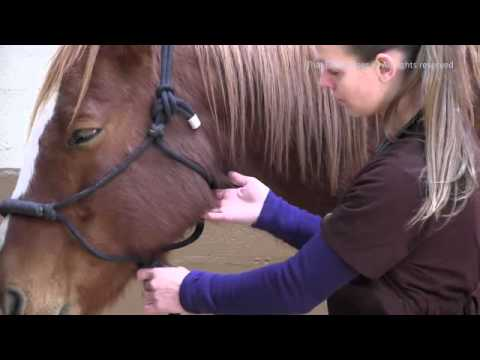 How to Take A Horse's Pulse at Facial Artery