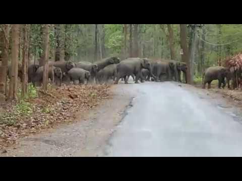 (छतीसगढ़ ) रायगढ़ के पास  : कोरबा , छाल, हाटी मार्ग में 40 हाथियों ने रोका रास्ता आवागमन बाधित |