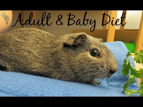 Baby & Adult Guinea Pig Diet When Housed Together