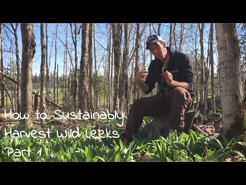 Wild Leeks, Sustainable Wild Foraging Techniques & Where to Find Ramps -  Foraging for Food part 1
