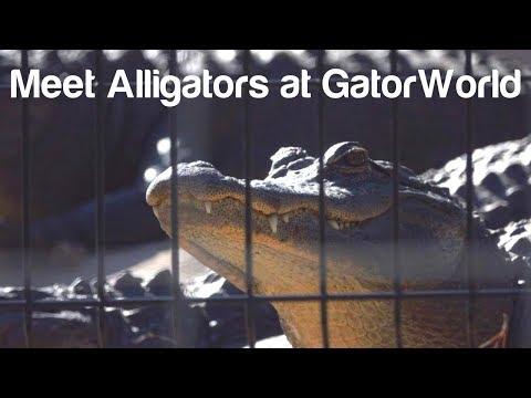 Florida Travel: See Alligators at GatorWorld in Wildwood
