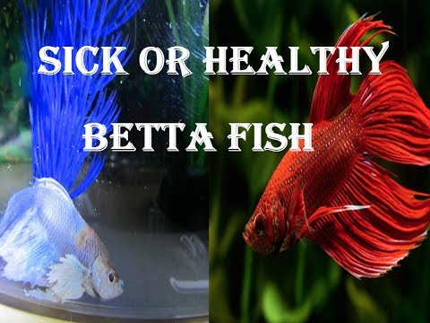 HOW TO TELL IF A BETTA FISH IS SICK 2017