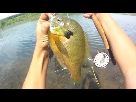 Lure Fishing #109 - Fly Fishing for 64 Spawning Bluegill and Pumpkinseed Sunfish