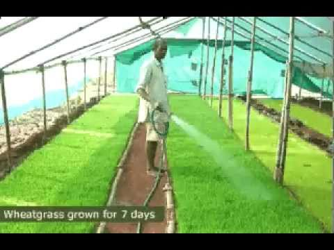 Organic Wheatgrass Powder - Wheat Grass Powder manufacturing process