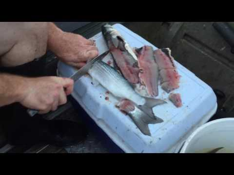 How to cut up mullet for bait when fishing