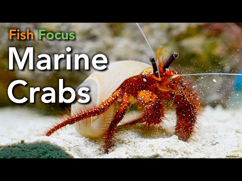 Fish Focus - Marine Crabs