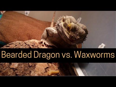Bearded Dragon (Little Dude) Eating Waxworms // 4K UHD.