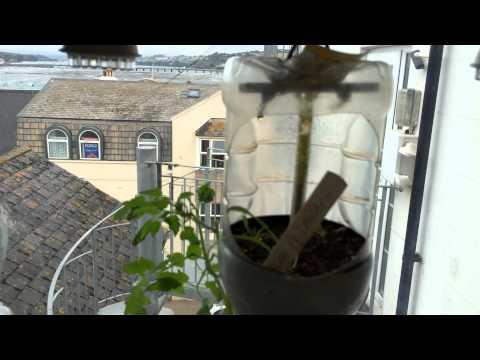 Hydroponic window garden after three weeks