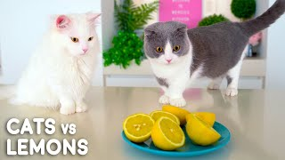 Can Cats Eat Lemons?