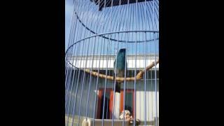 Slendang Biru Gacor Download Mp3 Mp4 3GP HD Video