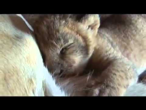 Lioness shows trust in man with her newborn cubs