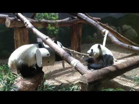 Adorable Panda Video