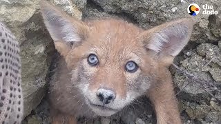 Download Guys Rush To Free Baby Coyote From Collapsed Den UPDATE | The Dodo Video