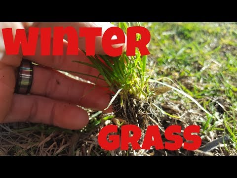How To Get Rid Of Winter Grass In Your Lawn | Lawn Restoration Ep.6