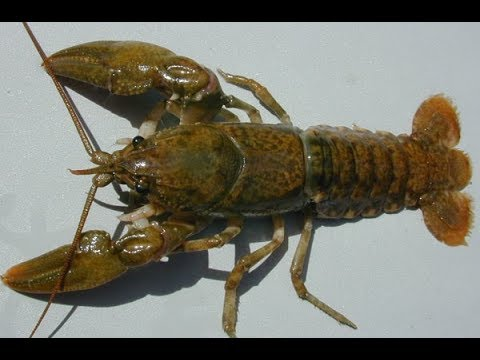 Herping Minnesota ~ Catching Crayfish