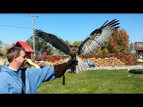 Neighbor training a red-tail hawk