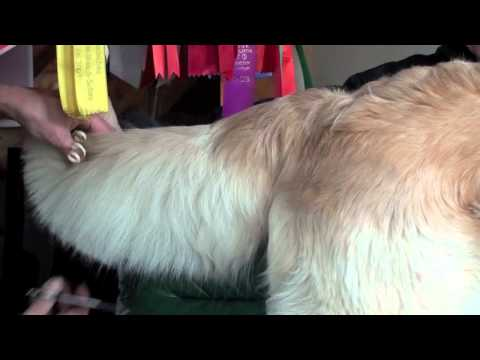 Golden retriever grooming-2/Стрижка золотистого ретривера-2