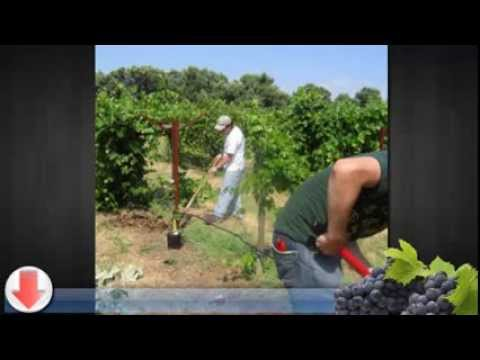 Grape Growing Guide: Starting Your Own Venture