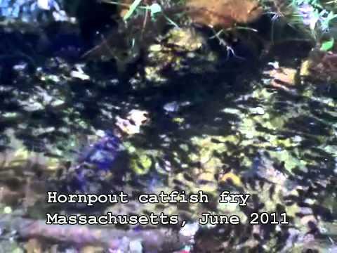 Hornpout catfish fry