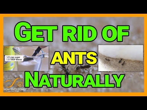 How to get rid of ants naturally with borax