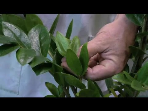 How to Keep the Leaves of Philodendron Plants Shiny : Gardening With Succulents & More