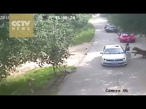 Footage shows shocking tiger attack in Beijing's wildlife park
