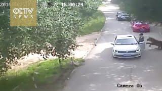 Footage shows shocking tiger attack in Beijing