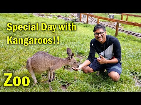 Special Day with Kangaroos in Australia Zoo !!