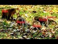Download Very terrified!! King Mad gone mad attacked many female monkeys by no reason In Mp4 3Gp Full HD Video