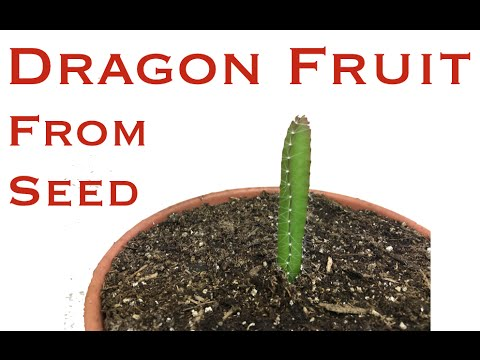 Grow Dragon Fruit from Seed Part 2