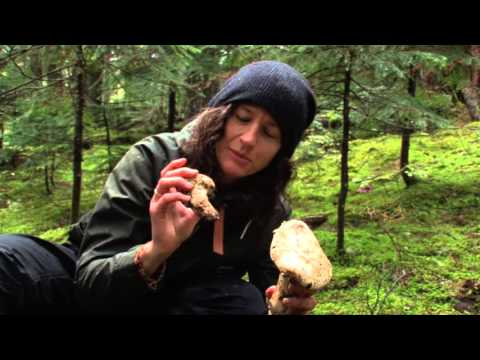 How to find pine mushrooms (matsutake) $$$$ ca-ching!