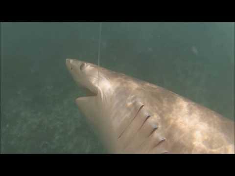 Blacktip Shark Fishing (repost)