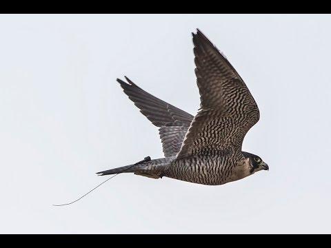 Peregrine Falcon amazing recovery