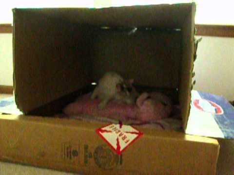 pregnant cat stage 1 pre labor