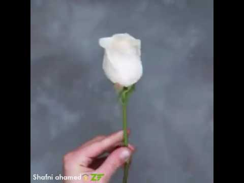 How to make Rainbow Roses 🌈🌹🤓👌Mr.Shαf(172)
