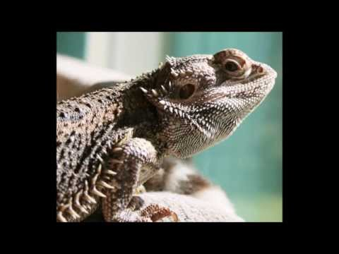 Bearded Dragon lighting- Watch this before purchasing lights for your Bearded Dragon