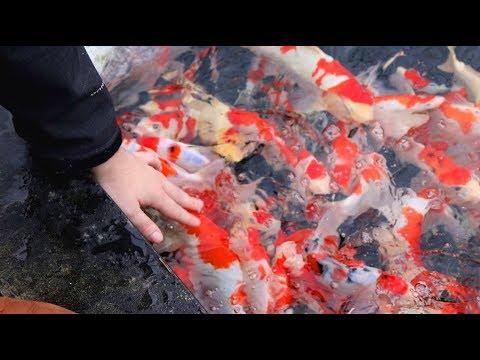 PETTING A MASSIVE SWARM Of Koi Fish!