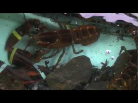Live Lobster Tank at Kaler's Restaurant in Boothbay Harbor, Maine