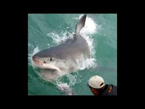 Great White Shark diving South Africa Gansbaii