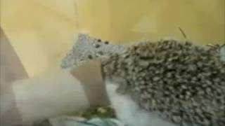 Boogie Boogie Hedgehog - Parry Gripp