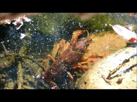 Crayfish Tries to Cross Land, Gets Flipped Over