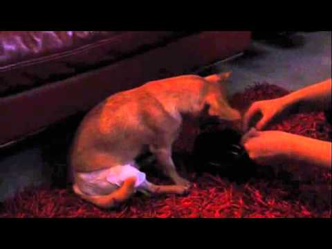 Luxating Patella - Chihuahua after surgery recovery - Day 1