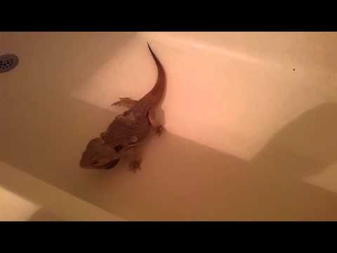 My Bearden Dragon Leviathan takes a warm bath and a relaxing poop