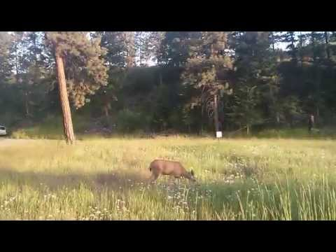 Deer (Princeton, BC)