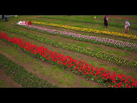 Drone Video: Tulip Fields Like You've Never Seen Before!