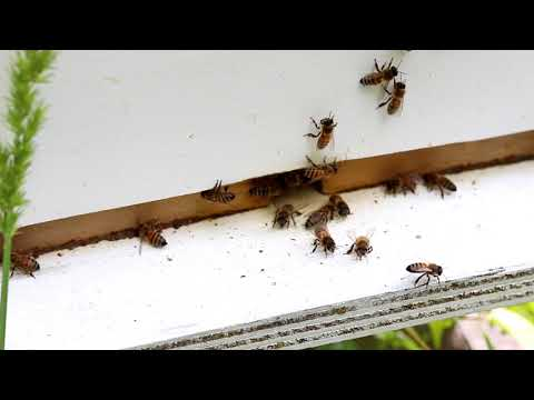 The Louisiana Bees. A quick look. Slow motion bees.