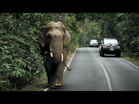 WILD ELEPHANT up close at Khao Yai National Park